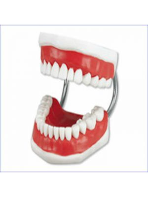 Hager Study Model - Tooth Brushing